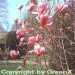 Magnolie Galaxy 80-100cm - Magnolia - Vorschau