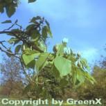 Gurkenmagnolie 100-125cm - Magnolia acuminata - Vorschau