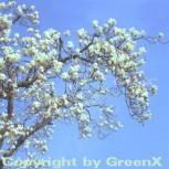 Chinesische Yulan Magnolie 100-125cm - Magnolia denudata - Vorschau