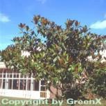 Immergrüne Magnolie Galissoniere 125-150cm - Magnolia grandiflora - Vorschau
