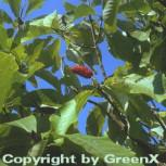 Honoki Magnolie 125-150cm - Magnolia hypoleuca