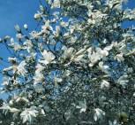Duft Tulpenmagnolie Wadas Memory 80-100cm - Magnolia kewensis