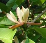 Apothekermagnolie 100-125cm - Magnolia officinalis