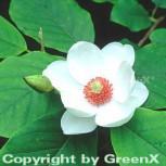 Sommer Magnolie 80-100cm - Magnolia sieboldii