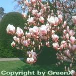 Tulpen Magnolie 125-150cm - Magnolia soulangiana