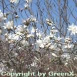 Sternmagnolie Royal Star 80-100cm - Magnolia stellata
