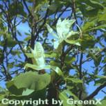 Schirmmagnolie 100-125cm - Magnolia tripetala - Vorschau