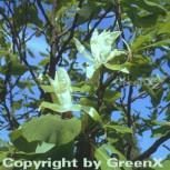 Schirmmagnolie 40-60cm - Magnolia tripetala
