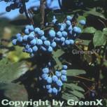 Mahonie 30-40cm - Mahonia aquifolium - Vorschau