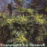 Schmuckblatt Mahonie 30-40cm - Mahonia bealei - Vorschau
