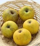 Apfelbaum Bockenhusen 60-80cm - süßsäuerliche und feste Winteräpfel - Vorschau