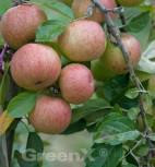 Apfelbaum Kasseler Renette 60-80cm - fest und feinwürzig - Vorschau