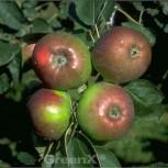 Apfelbaum Rheinischer Winterrambour 60-80cm - grünrote Früchte - Vorschau