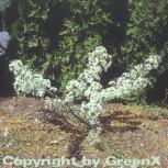 Zierapfel Tina 100-125cm - Malus Hybride - Vorschau