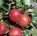 Apfelbaum Topas 60-80cm - süßsauer und feinwürzig