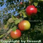 Apfelbaum Gravensteiner 60-80cm - saftig und locker - Vorschau
