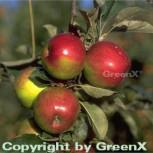 Apfelbaum Jonathan 60-80cm - feinwürzig und fest - Vorschau