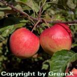 Apfelbaum Pinova 60-80cm - süßsäuerlich und fest