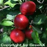 Apfelbaum Rote Sternrenette 60-80cm - fest und süßsäuerlich - Vorschau