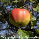Apfelbaum Signe Tilisch 60-80cm - feinwürzig und mildsäuerlich - Vorschau