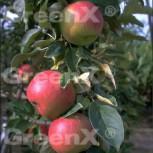 Säulenapfel Waltz 60-80cm - süßer Apfel