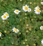 Kaukasische Scheinkamille Mutterkraut - Matricaria caucasica - Vorschau