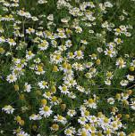 Echte Kamille - Matricaria recutita - Vorschau