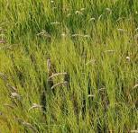 Wimper Perlgras - Melica ciliata
