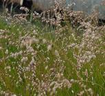 Nickendes Perlgras - Melica nutans - Vorschau