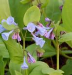Blauglöckchen - Mertensia virginica - Vorschau