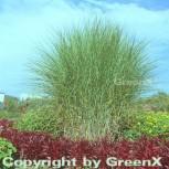 Chinaschilf Gracillimus - Miscanthus sinensis - Vorschau