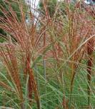 Chinaschilf Graziella - XXXL Topf - Miscanthus sinensis - Vorschau