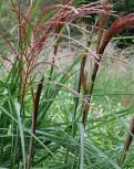 Chinaschilf Große Fontäne - Miscanthus sinensis - Vorschau