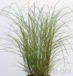 Chinaschilf Red Chief - XXXL Topf - Miscanthus sinensis