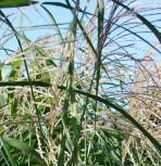 Chinaschilf Silberturm - Miscanthus sinensis - Vorschau