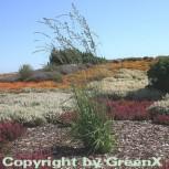 Riesen Pfeifengras Windspiel - Molinia arundinacea - Vorschau