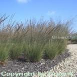 Pfeifengras Edith Dudszus - Molinia caerulea - Vorschau