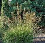 Pfeifengras Moorhexe - Molinia caerulea