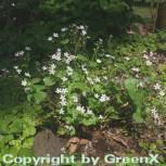 Sibirisches Tellerkraut - Montia sibirica