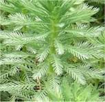 Quirlige Tausendblatt - Myriophyllum verticillatum