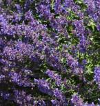 Katzenminze Blue Danube - Nepeta grandiflora