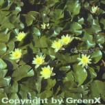 Seerose Marliacea Chromatella - Nymphaea - Vorschau