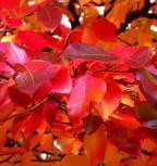 Schwarzer Tupelobaum 125-150cm - Nyssa sylvatica