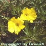 Missouri Nachtkerze - Oenothera missouriensis