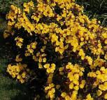 Nachtkerze Sonnenwende - Oenothera tetragona - Vorschau