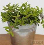 Wilder Majoran Aureum - Origanum vulgare