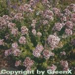 Wilder Majoran - Origanum vulgare