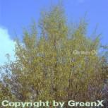 Gemeine Hopfenbuche 60-80cm - Ostrya carpinifolia