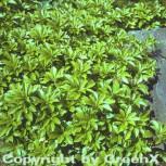 10x Schattengrün Dickmännchen Green Carpet - Pachysandra terminialis