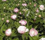 Edelpfingstrose Catharina Fontijn - Paeonia lactiflora - Vorschau